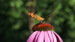 Comma butterfly (Polygonia c-album) feeds on nectar Purple coneflower, echinacea purpurea - close up + eye level