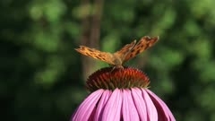 Comma butterfly (Polygonia c-album)  feeds on nectar Purple coneflower, echinacea purpurea - eye level + close up