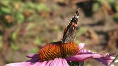 Vanessa Atalanta, Red Admiral butterfly feeds on nectar of echinacea purpurea - side view, wings closed
