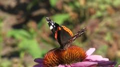 Vanessa Atalanta, Red Admiral butterfly feeds on nectar of echinacea purpurea, purple coneflower.