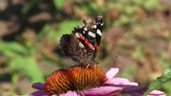 Vanessa Atalanta, Red Admiral butterfly feeds on nectar of echinacea purpurea - on camera