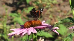 Vanessa Atalanta, Red Admiral butterfly + honeybee feed on nectar of echinacea purpurea - atalanta flies off