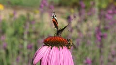 Vanessa Atalanta, Red Admiral butterfly feeds on nectar of echinacea purpurea + flies away, honeybee appears + crawlin round and flies away.