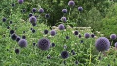 Globe Thistles (echinops ritro) in garden with honeybees flying around - wide shot
