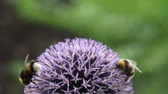 Bee feeds on nectar Globe Thistle (echinops ritro) - extreme close up