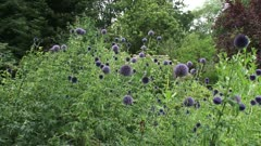 Globe Thistles (echinops ritro) in garden with honeybees buzzing - wide shot + pan