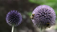 Pair of Globe Thistles (echinops ritro) in garden + honeybees - close up