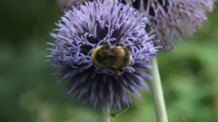 Bumblebee feeds on nectar Globe Thistle (echinops ritro) - close up.