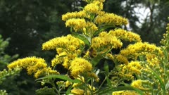 Solidago canadensis, Canada goldenrod with honeybees - medium shot. Since it flowers late in the summer, Solidago is an important source of both nectar and pollen for bees