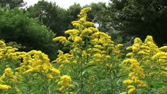 Solidago canadensis, Canada goldenrod with honeybees - eye level. Since it flowers late in the summer, Solidago is an important source of both nectar and pollen for bees