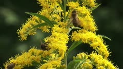 Solidago canadensis, Canada goldenrod with honeybees - close up. Since it flowers late in the summer, Solidago is an important source of both nectar and pollen for bees