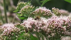 Hemp-agrimony (Eupatorium) pollinated by honeybees