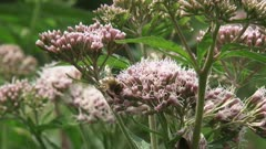 Hemp-agrimony (Eupatorium) pollinated by honeybees - eye level