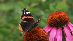 Red Admiral (Vanessa Atalanta) butterfly (damaged wings) feeds on nectar of echinacea purpurea, purple coneflower.