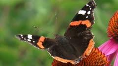 Red Admiral (Vanessa Atalanta) butterfly feeds on nectar of echinacea purpurea, purple coneflower.