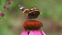 Red Admiral (Vanessa Atalanta) butterfly feeds on nectar of echinacea purpurea, purple coneflower and scares away other insects.