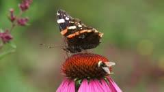 Red Admiral (Vanessa Atalanta) butterfly (damaged wings) and honeybee share nectar of echinacea purpurea, purple coneflower.