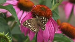 Speckled Wood (pararge aegeria) butterfly feeds on nectar of echinacea purpurea - dorsal view