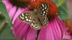 Speckled Wood (pararge aegeria) butterfly feeds on nectar of echinacea purpurea - dorsal view - close up
