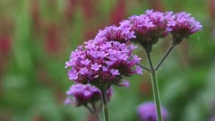 Purpletop, Verbena bonariensis in bloom - close up + zoom out summer garden with wooden shed.