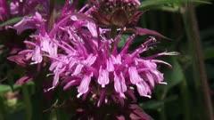 Bergamot, Monarda didyma in bloom - close up.
