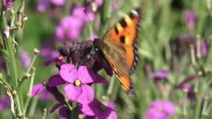 Nymphalis urticae, Small Tortoiseshell butterfly on wallflower Erysimum bowles mauve - extreme close up