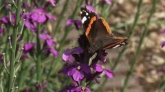 Vanessa Atalanta, Red Admiral butterfly on wallflower Erysimum bowles mauve.