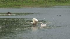 Mute Swan (cygnus olor) and cygnet preening in shallow.