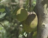 jackfruit tree with fruit (Artocarpus heterophyllus) close up