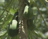 papaya fruit hangs on branch - zoom out - papaya tree