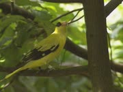 black-naped oriole (oriolus chinensis) sits on branch, turns around and jumps from branch.The black-naped oriole is a bird of the oriole family and is found in many parts of Asia.