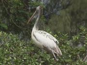 Spot-billed Pelican or Grey Pelican in tree (Pelecanus philippensis) flies away