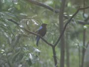 Asian Fairy-bluebird (Irena puella) sits on branch in rain shower