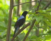 Asian Fairy-bluebird (Irena puella) sits on branch and jumps off