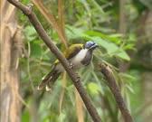 Blue-faced Honeyeater (Entomyzon cyanotis). The Blue-faced Honeyeateris a passerine bird of the Honeyeater family Meliphagidae.