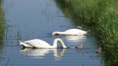 mute swan  (cygnus olor) with cygnets in ditch