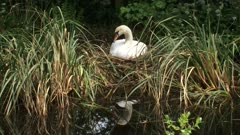 Mute swan (cygnus olor) breeding + arranging nest. Mute swans breed in north central Europe and north central Asia.