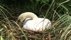 Mute swan (cygnus olor) breeding + arranging nest - close up, Mute swans breed in north central Europe and north central Asia.