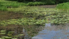 Spatterdock, Nuphar lutea blooming with yellow flowers above the water surface and leaves floating on the water surface. Sound of croaking frogs.