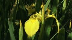 Iris pseudacorus, yellow iris  blooming in reedland  - close up + pan