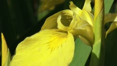 Iris pseudacorus, yellow iris in bloom - close up + zoom out erect leaves.