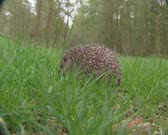 European Hedgehog, Erinaceus europaeus, foraging. The hedgehog feeds on small creatures like insects, worms, small rodents, frogs and snakes.