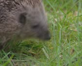 European Hedgehog, Erinaceus europaeus, foraging - close up. The hedgehog feeds on small creatures like insects, worms, small rodents, frogs and snakes.