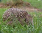 European Hedgehog, Erinaceus europaeus, foraging - side view. The hedgehog feeds on small creatures like insects, worms, small rodents, frogs and snakes.