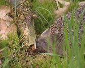 European Hedgehog, Erinaceus europaeus, foraging on insects at a fallen branch - close up. The hedgehog feeds on small creatures like insects, worms, small rodents, frogs and snakes.