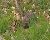 European Hedgehog, Erinaceus europaeus, foraging on insects in forest. The hedgehog feeds on small creatures like insects, worms, small rodents, frogs and snakes.