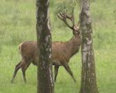 Red Deer (cervus elaphus) stag across grassland in wetland valley. Moose, elk and deer produce new antlers yearly.