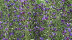 Wild bee going up from flower to flower of Echium vulgare, Vipers Bugloss or Blueweed.