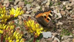 Small Tortoiseshell  butterfly (aglais urticae) on yellow sedum in rockery. Aglais urticae is one of the first butterflies to be seen in spring.