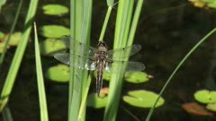 Dragonfly, Four-spotted Chaser perched on waving reed and flies away.